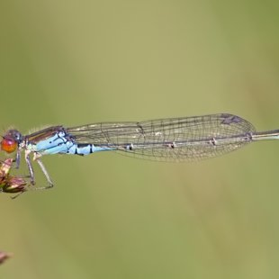 Small Red-eyed Damselfly ♂ (2016)