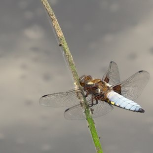 Broad-bodied Chaser ♂ (2017)