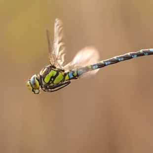 Southern Hawker ♂ (2015)