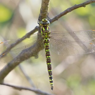 Southern Hawker ♀ (2015)