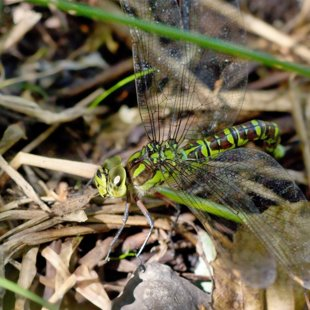 Southern Hawker ♀ (2013)