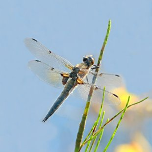 Four-spotted Chaser ♂ (2013)