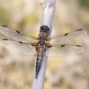 Four-spotted Chaser ♂ (2015)