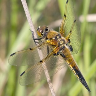 Four-spotted Chaser ♂ (2014)