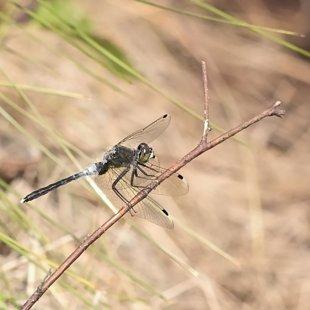 Vážka běloústá ♂ (2016)