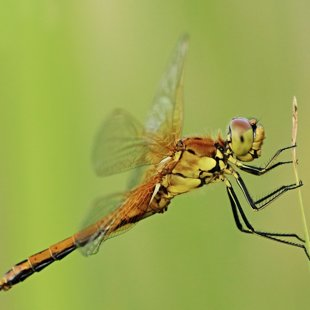 Vážka žlutavá ♀ (2013)