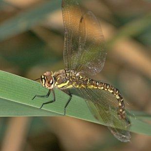 Šídlo pestré ♀ (2012)