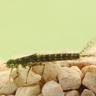 Šidélko malé - larva (2014)