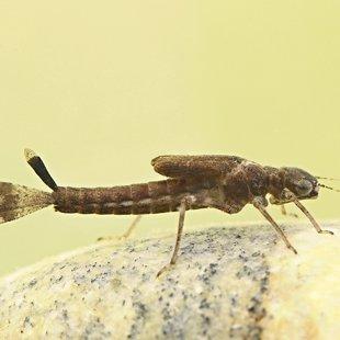 Šidélko ruměnné - larva (2015)