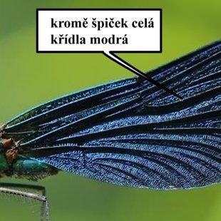 Motýlice obecná ♂