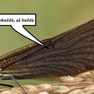 Motýlice obecná ♀