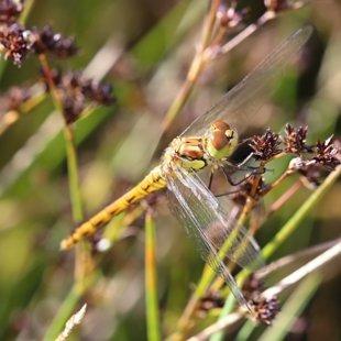 vážka žíhaná ♀ (2016)