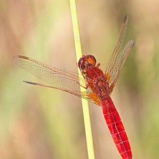 vážka červená ♂ (2017)