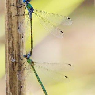 Scare Emerald Damselfly ♂ + ♀ (2013)