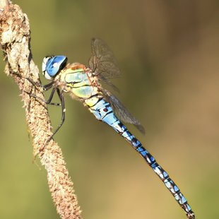 Southern Migrant Hawker ♂ (2013)