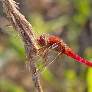 Scarlet Darter ♂ (2013)