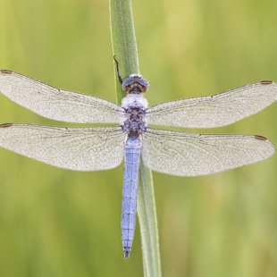 Southern Skimmer ♂ (2017)