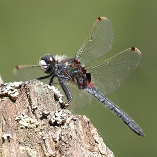 Ruby Whiteface ♂ (2017)