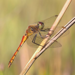 Potted Darter ♂ (2016)