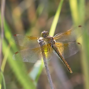 Yellow-winged Darter ♀ (2013)