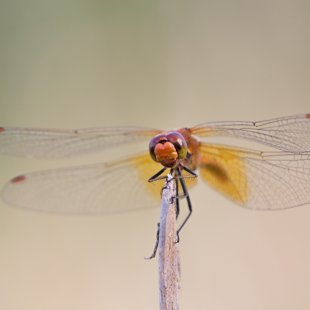 Yellow-winged Darter ♂ (2013)