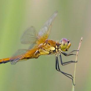 Yellow-winged Darter ♂ (2013)