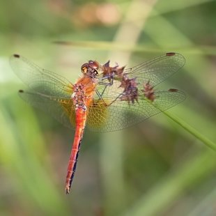 Yellow-winged Darter ♂ (2015)