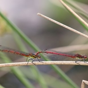 Large Red Damselfly ♂ + ♀ (2016)