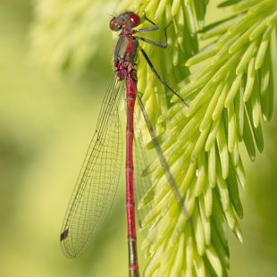 Large Red Damselfly ♂ (2014)