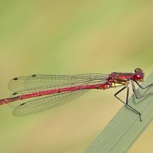 Large Red Damselfly ♂ (2016)
