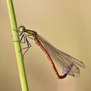 Large Red Damselfly ♂ (2015)