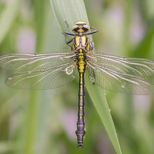 Common Clubtail ♂ (2016)