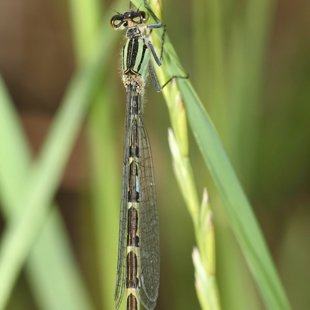 Common Blue Damselfly ♀ (2012)