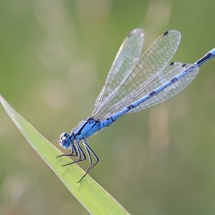 Common Blue Damselfly ♂ (2015)
