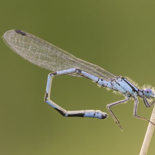Common Blue Damselfly ♂ (2016)