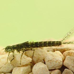 Scarce Blue-tailed Damselfly - larva (2014)