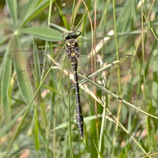 Golden-ringed Dragonfly ♂ (2015)