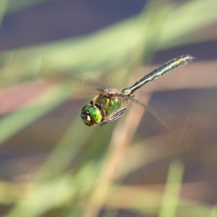 Brilliant Emerald ♂ (2015)