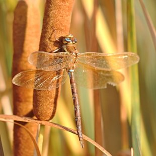 Brown Hawker ♂ (2013)