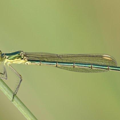Small Emerald Damselfly ♀ (2013)