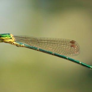 Small Emerald Damselfly ♂ (2013)