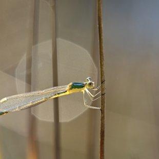 Small Emerald Damselfly ♀ (2015)