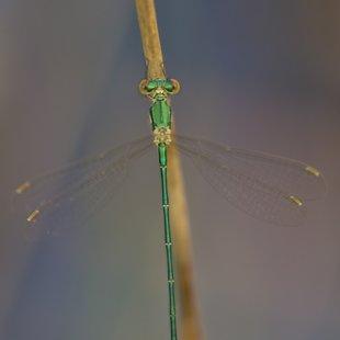 Small Emerald Damselfly ♂ (2015)