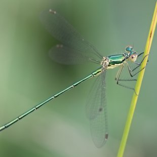 Small Emerald Damselfly ♂ (2016)