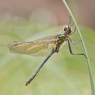Downy Emerald ♂ (2016)