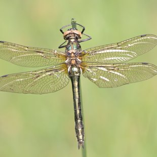 Downy Emerald ♀ (2016)