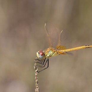 Red-veined Darter ♂ (2015)