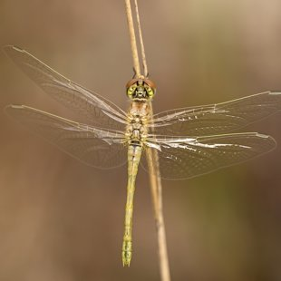 Red-veined Darter ♀ (2015)