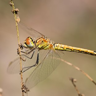 Red-veined Darter ♀ (2017)