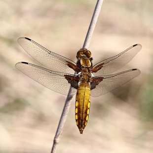 Broad-bodied Chaser ♂ (2015)